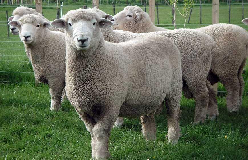 Порода овец Ромни-марш.