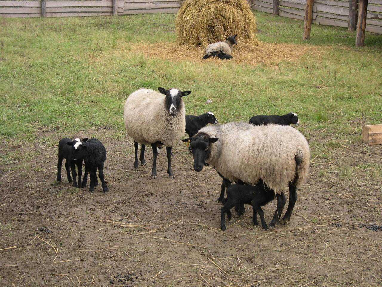 Современные способы содержания овец зимой