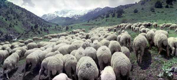 Отара овец в предгорьях Тянь-Шаня.