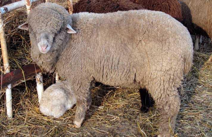 Алтайская порода овец.