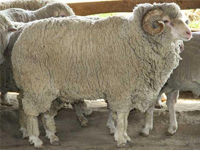 Ставропольская порода овец.
