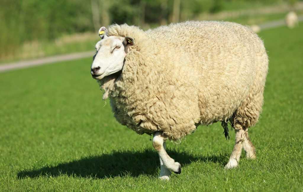 Куйбышевская порода овец.