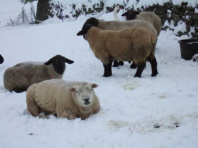 Пастбищно-стойловое-содержание-овец.