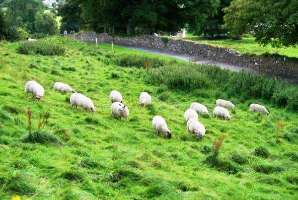 Пастбищное-содержание-овец.