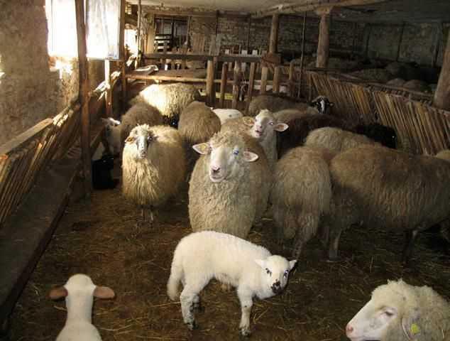 Содержание-овец-в-помещении.