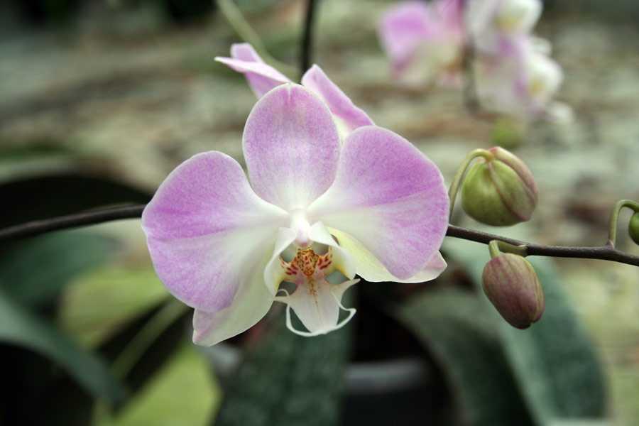 orhideya-falenopsis-foto-video-vidyi-falenopsis-harakteristika-i-opisanie-24