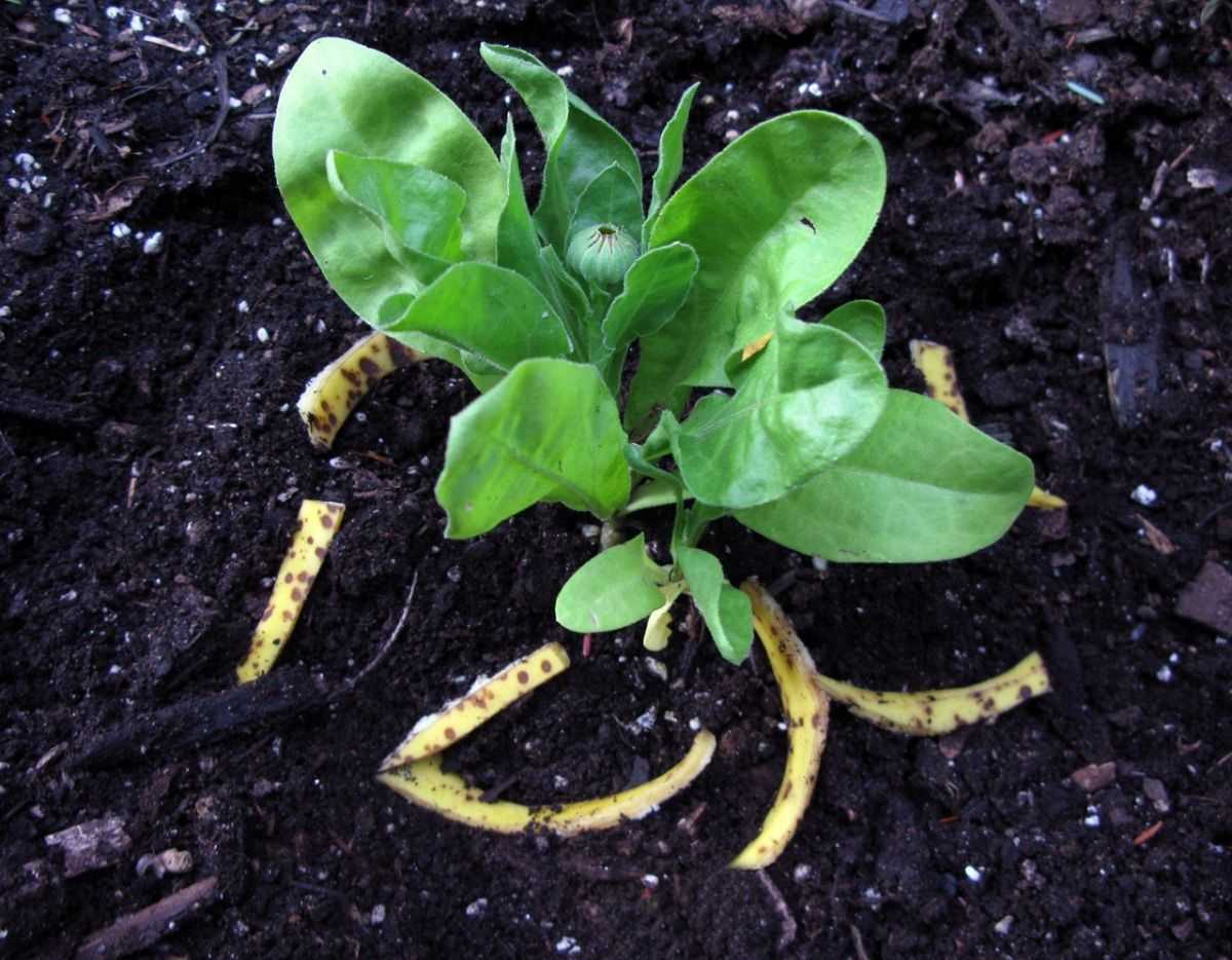 bananovoe-udobrenie-foto-video-udobrenie-iz-bananovoy-kozhuryi-6