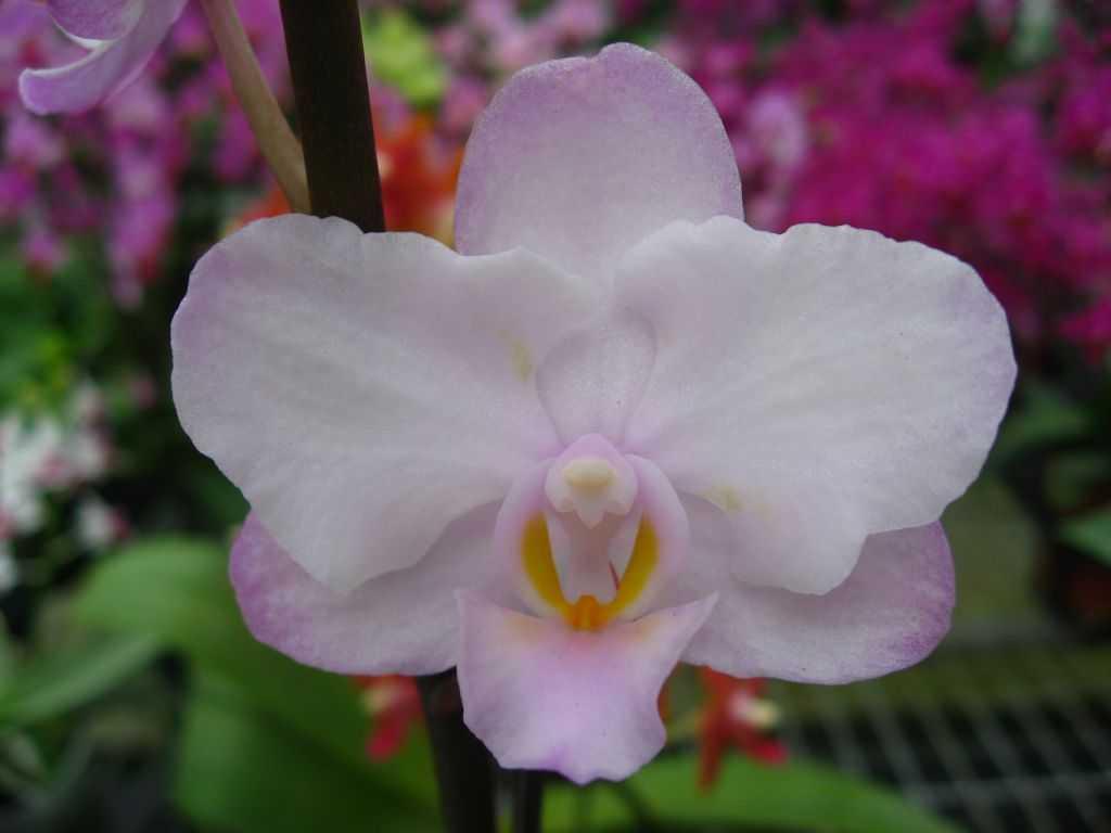 orhideya-falenopsis-foto-video-vidyi-falenopsis-harakteristika-i-opisanie-33