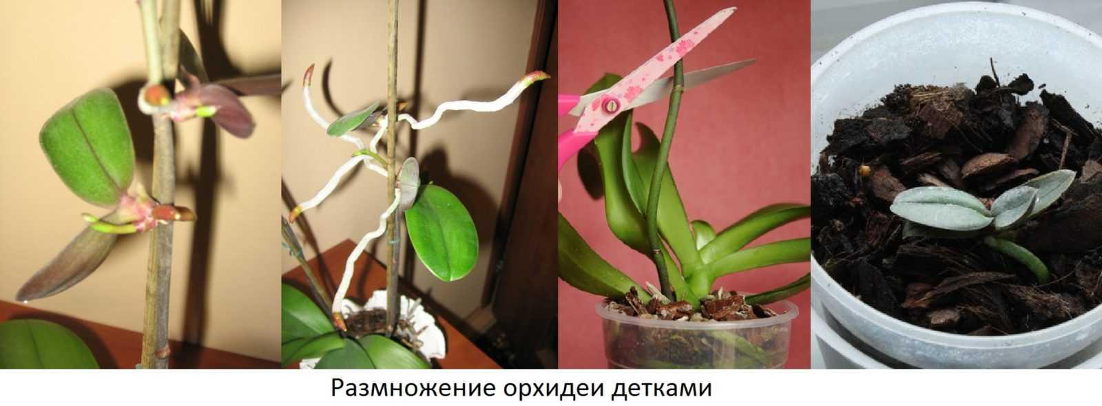 orhideya-falenopsis-foto-video-vidyi-falenopsis-harakteristika-i-opisanie-9