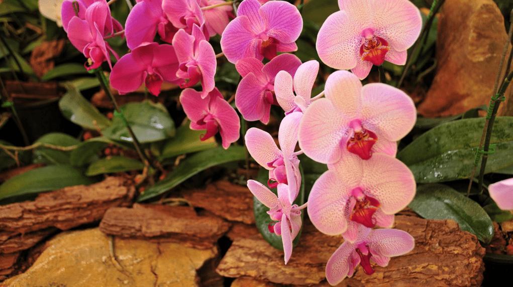 orhideya-falenopsis-foto-video-vidyi-falenopsis-harakteristika-i-opisanie-31