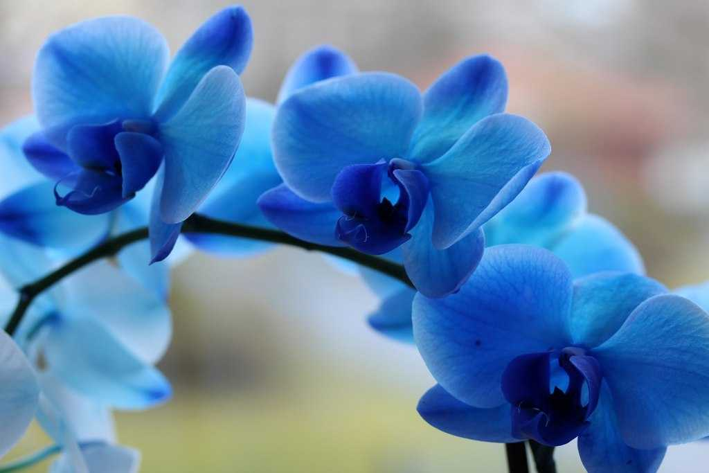 orhideya-falenopsis-foto-video-vidyi-falenopsis-harakteristika-i-opisanie-35