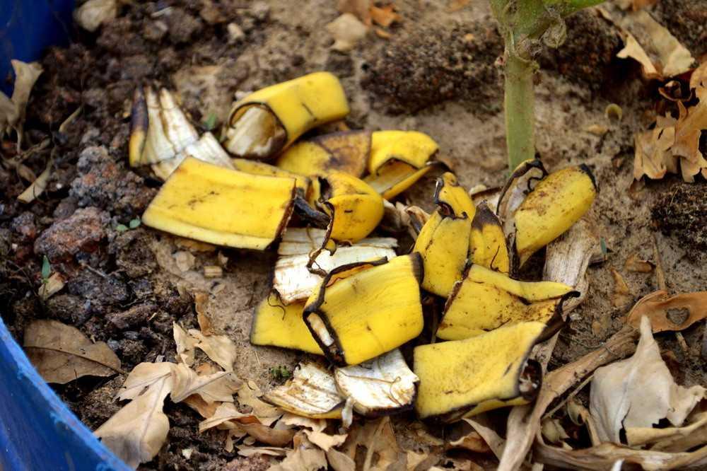 bananovoe-udobrenie-foto-video-udobrenie-iz-bananovoy-kozhuryi-8
