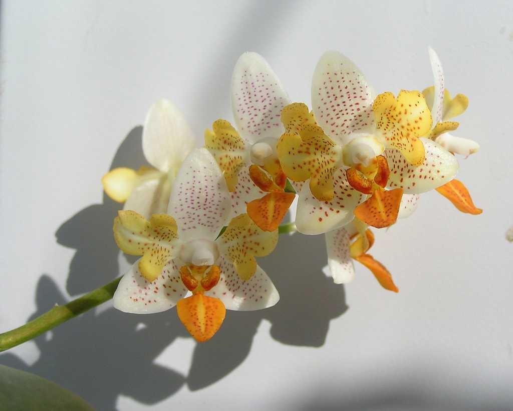orhideya-falenopsis-foto-video-vidyi-falenopsis-harakteristika-i-opisanie-36