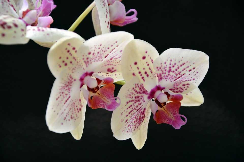 orhideya-falenopsis-foto-video-vidyi-falenopsis-harakteristika-i-opisanie-17