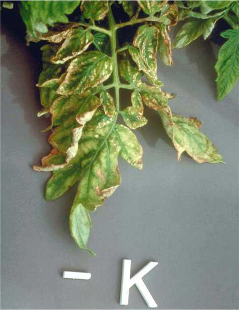 podkormka-pomidorov-v-teplitse-foto-video-chem-udobryat-tomatyi-v-teplitse-23