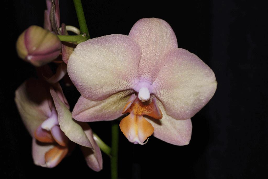 orhideya-falenopsis-foto-video-vidyi-falenopsis-harakteristika-i-opisanie-55