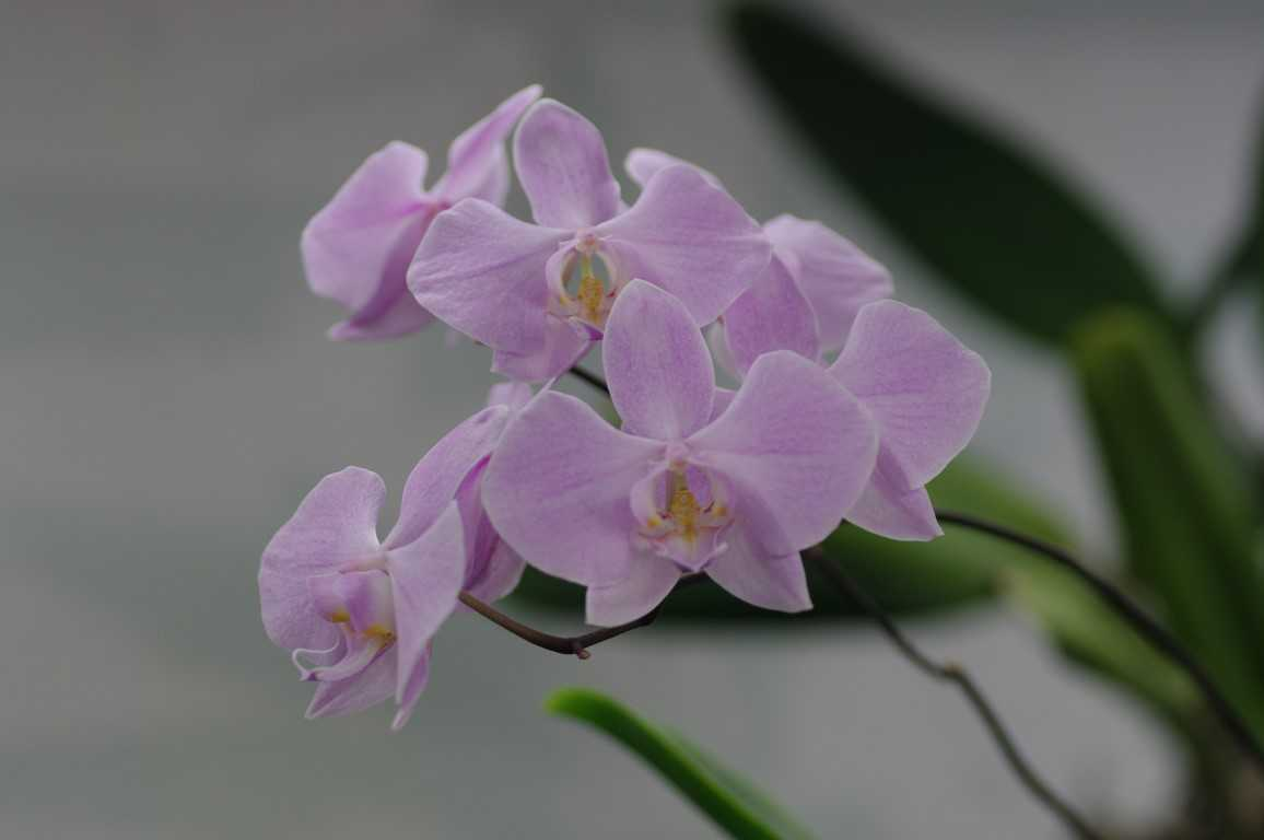 orhideya-falenopsis-foto-video-vidyi-falenopsis-harakteristika-i-opisanie-25