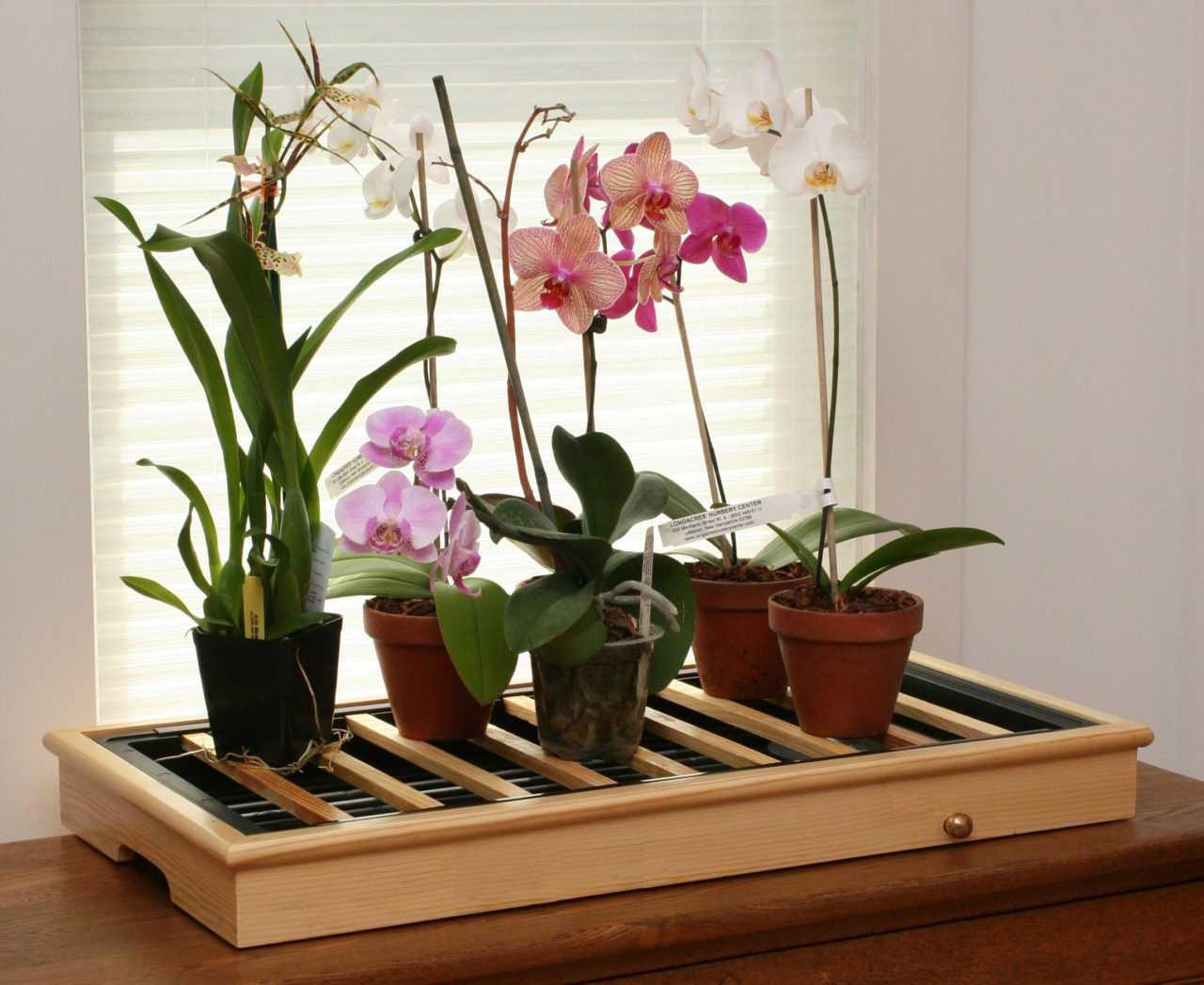 orhideya-falenopsis-foto-video-vidyi-falenopsis-harakteristika-i-opisanie-16