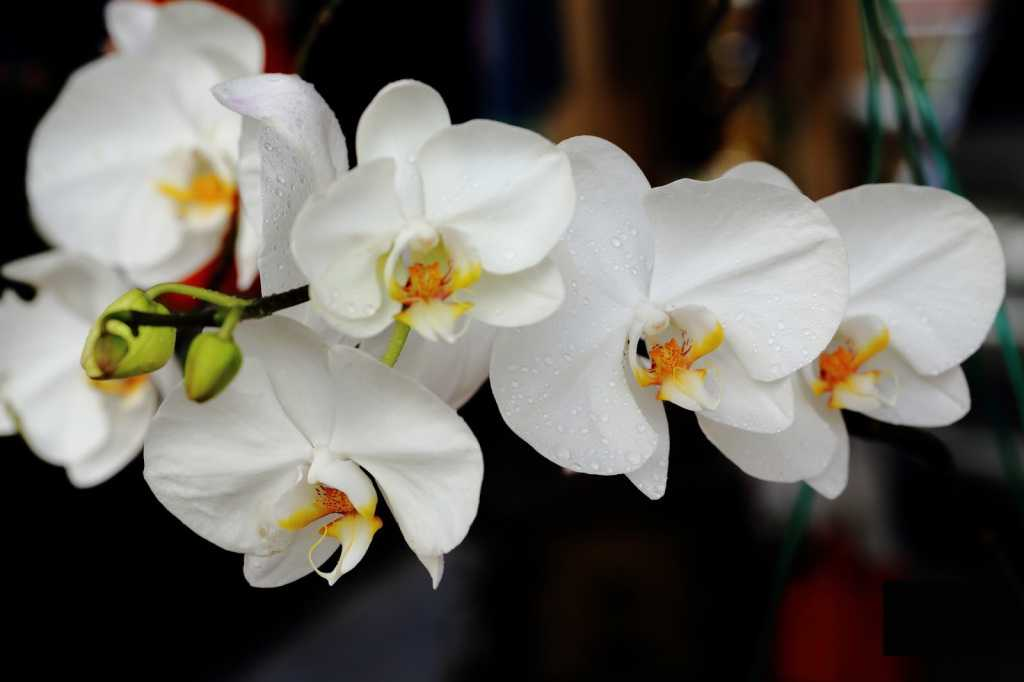 orhideya-falenopsis-foto-video-vidyi-falenopsis-harakteristika-i-opisanie-18