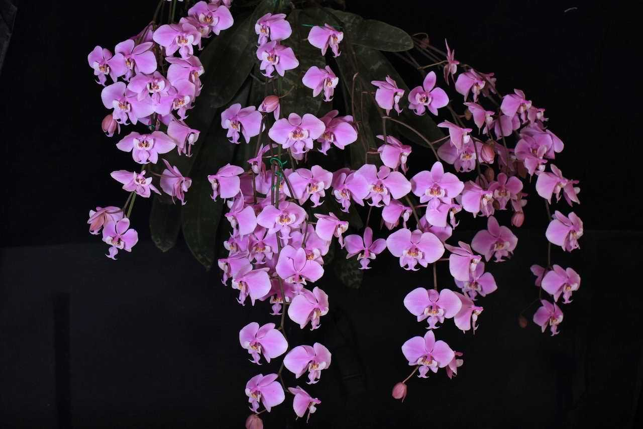 orhideya-falenopsis-foto-video-vidyi-falenopsis-harakteristika-i-opisanie-22