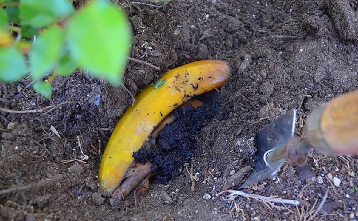 bananovoe-udobrenie-foto-video-udobrenie-iz-bananovoy-kozhuryi-7