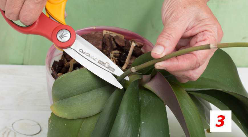 orhideya-falenopsis-foto-video-vidyi-falenopsis-harakteristika-i-opisanie-12