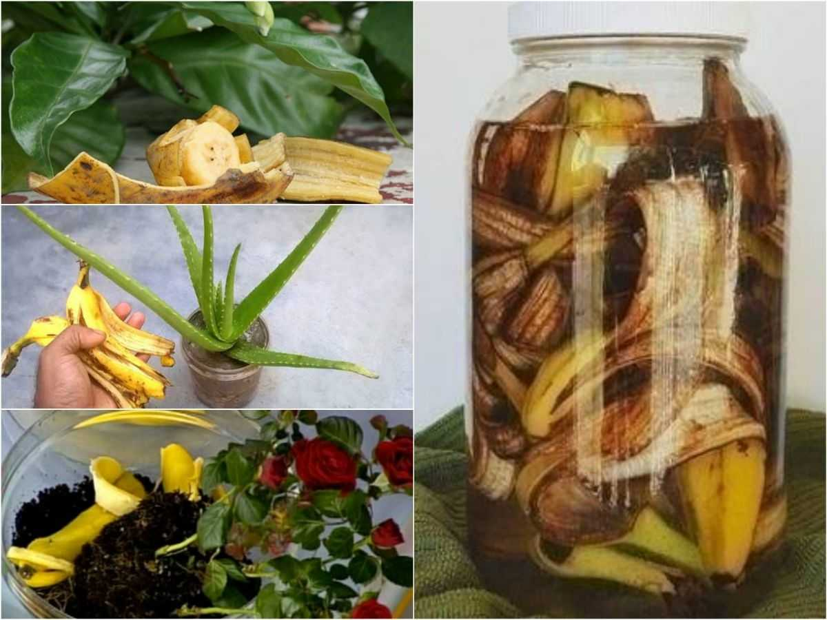bananovoe-udobrenie-foto-video-udobrenie-iz-bananovoy-kozhuryi-2
