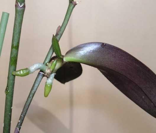 orhideya-falenopsis-foto-video-vidyi-falenopsis-harakteristika-i-opisanie-8