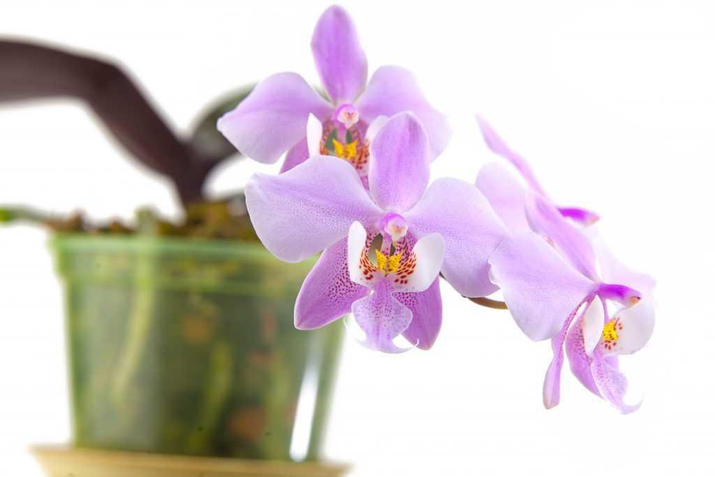 orhideya-falenopsis-foto-video-vidyi-falenopsis-harakteristika-i-opisanie-20