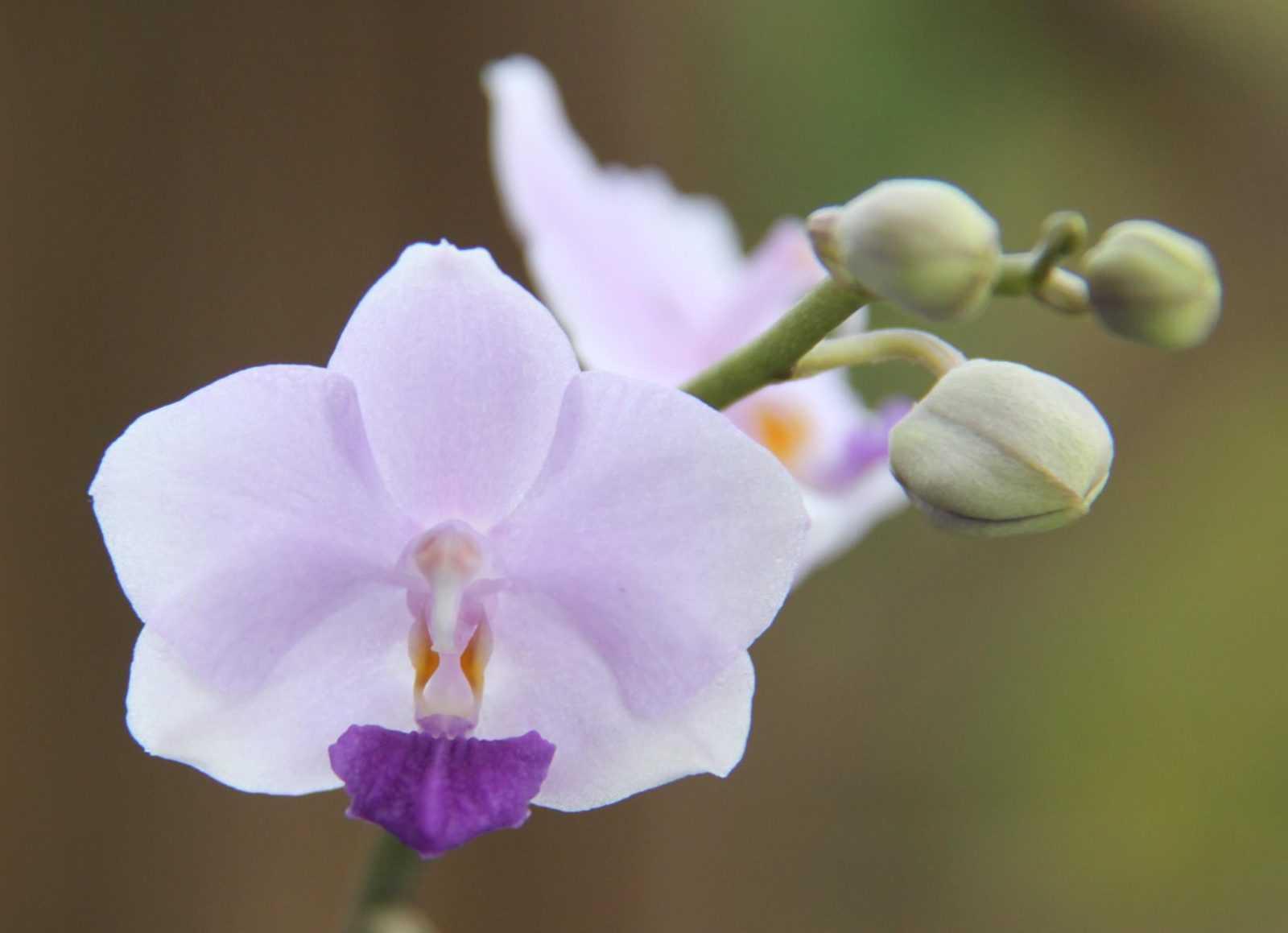 orhideya-falenopsis-foto-video-vidyi-falenopsis-harakteristika-i-opisanie-34