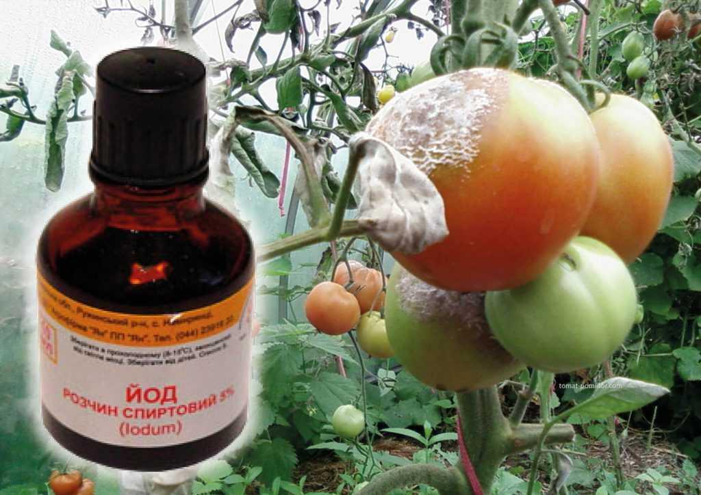 podkormka-pomidorov-v-teplitse-foto-video-chem-udobryat-tomatyi-v-teplitse-29