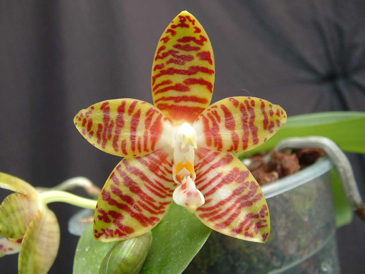orhideya-falenopsis-foto-video-vidyi-falenopsis-harakteristika-i-opisanie-30