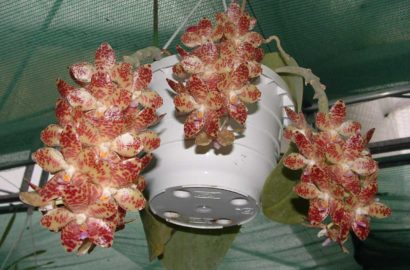 orhideya-falenopsis-foto-video-vidyi-falenopsis-harakteristika-i-opisanie