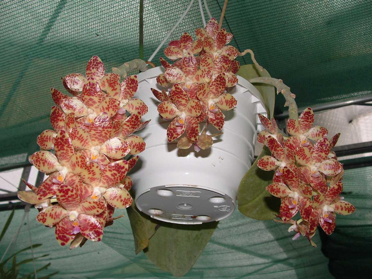 orhideya-falenopsis-foto-video-vidyi-falenopsis-harakteristika-i-opisanie-1