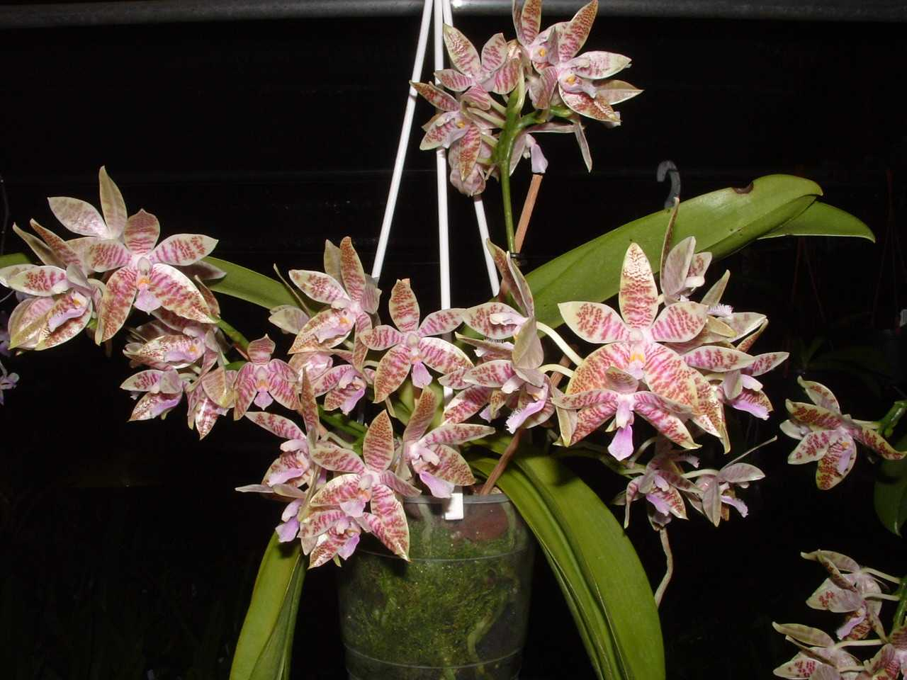 orhideya-falenopsis-foto-video-vidyi-falenopsis-harakteristika-i-opisanie-2