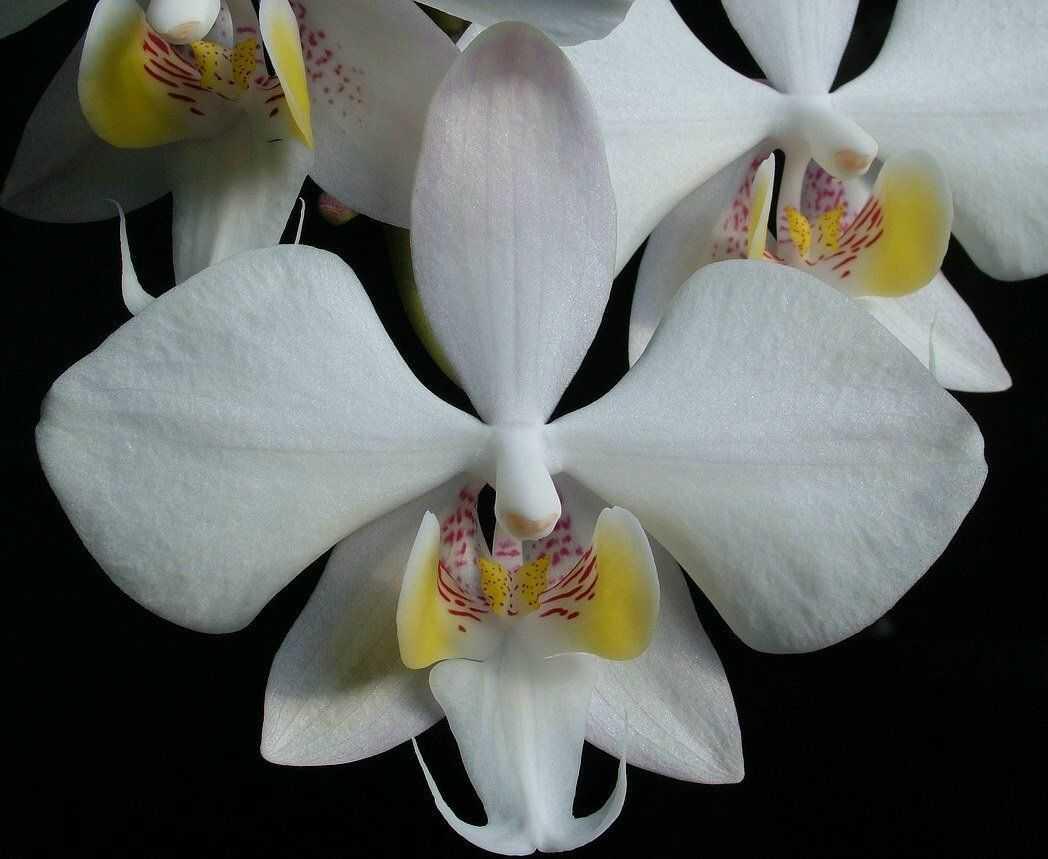 orhideya-falenopsis-foto-video-vidyi-falenopsis-harakteristika-i-opisanie-37