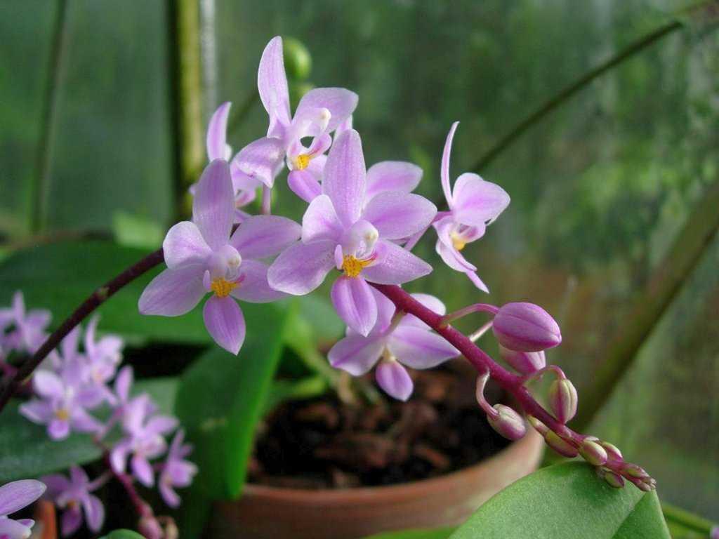 orhideya-falenopsis-foto-video-vidyi-falenopsis-harakteristika-i-opisanie-4