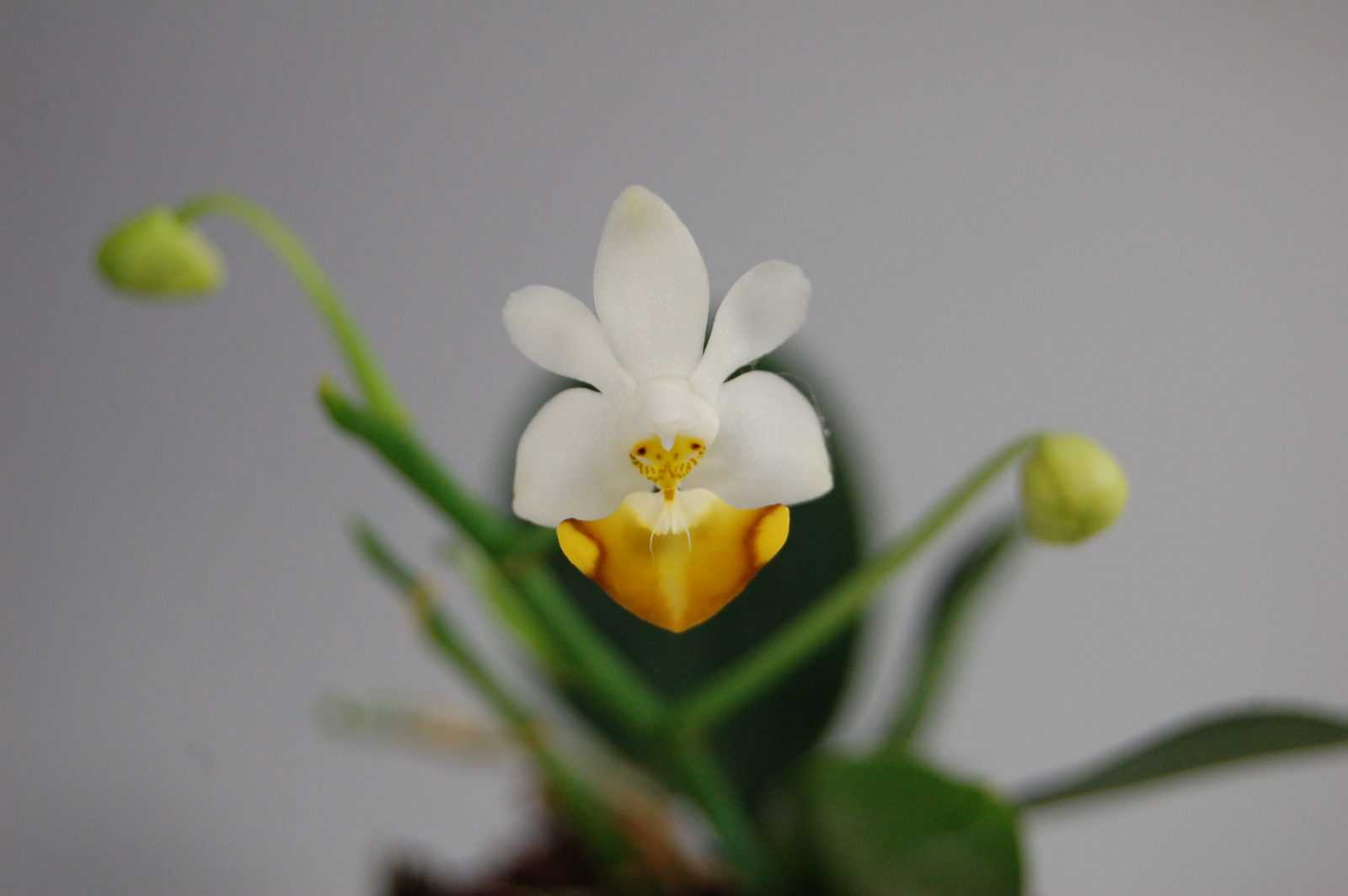 orhideya-falenopsis-foto-video-vidyi-falenopsis-harakteristika-i-opisanie-32