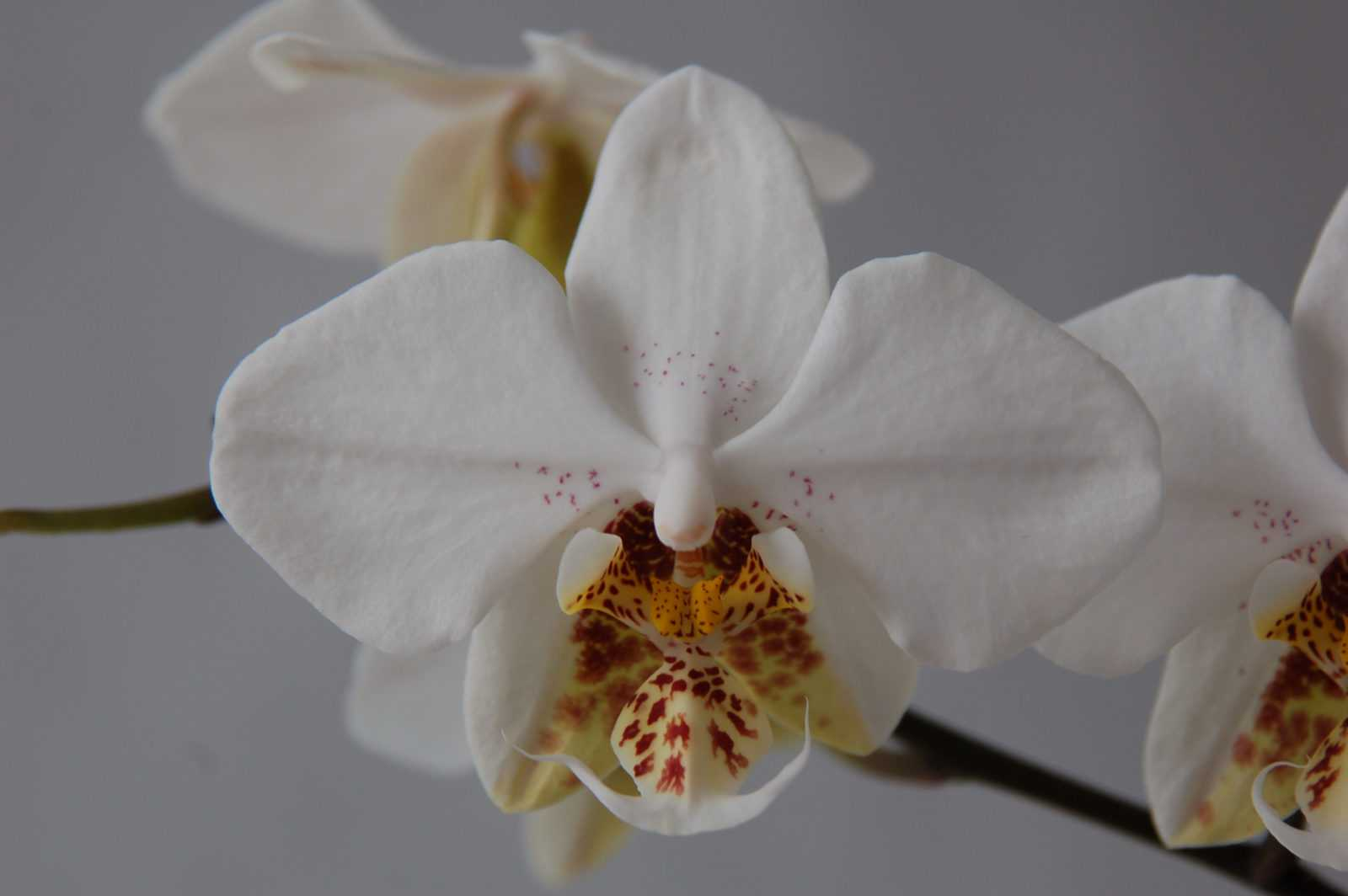 orhideya-falenopsis-foto-video-vidyi-falenopsis-harakteristika-i-opisanie-23