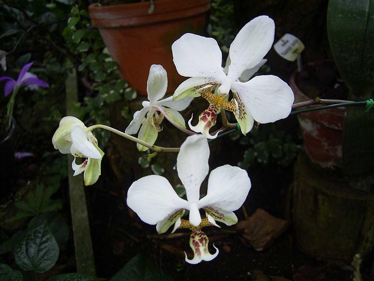 orhideya-falenopsis-foto-video-vidyi-falenopsis-harakteristika-i-opisanie-5