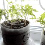 Выращивание рассады в улитках: как вырастить рассаду без земли