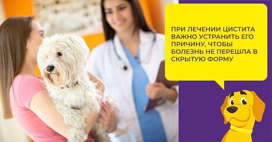 tsistit-u-sobak-foto-video-prichiny-simptomy-profilaktika-i-lechenie-5
