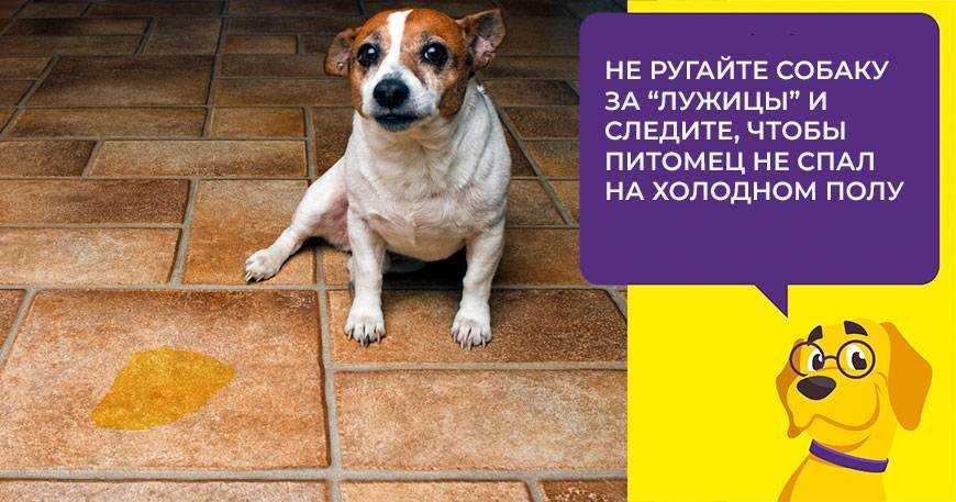 tsistit-u-sobak-foto-video-prichiny-simptomy-profilaktika-i-lechenie-3