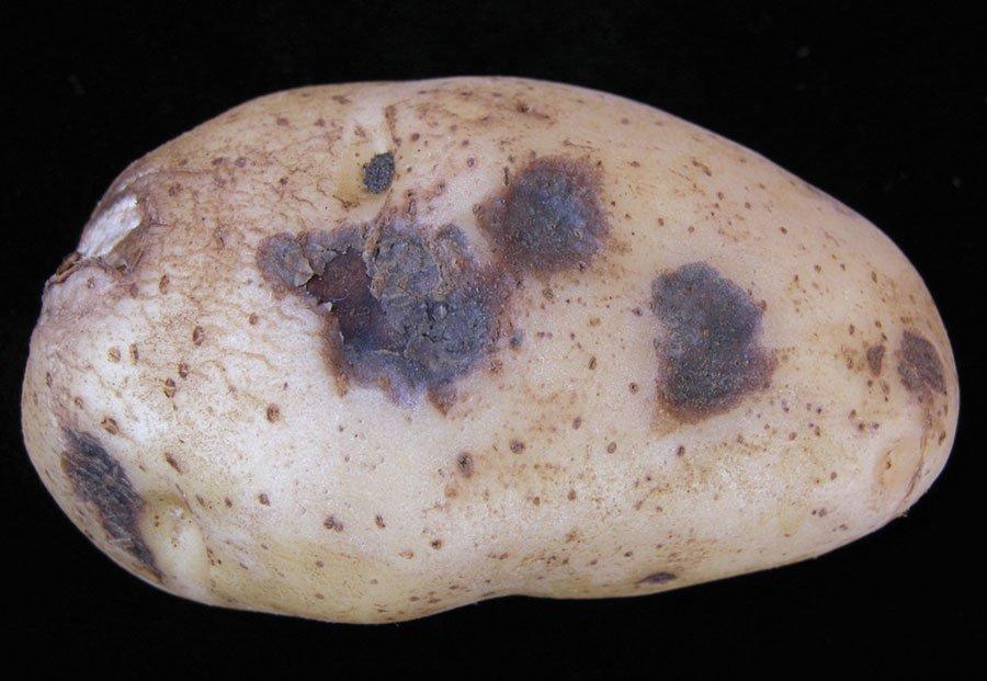 gnili-kartofelya-foto-video-pochemu-gniyot-kartofel-meryi-zashhityi-i-borbyi-4