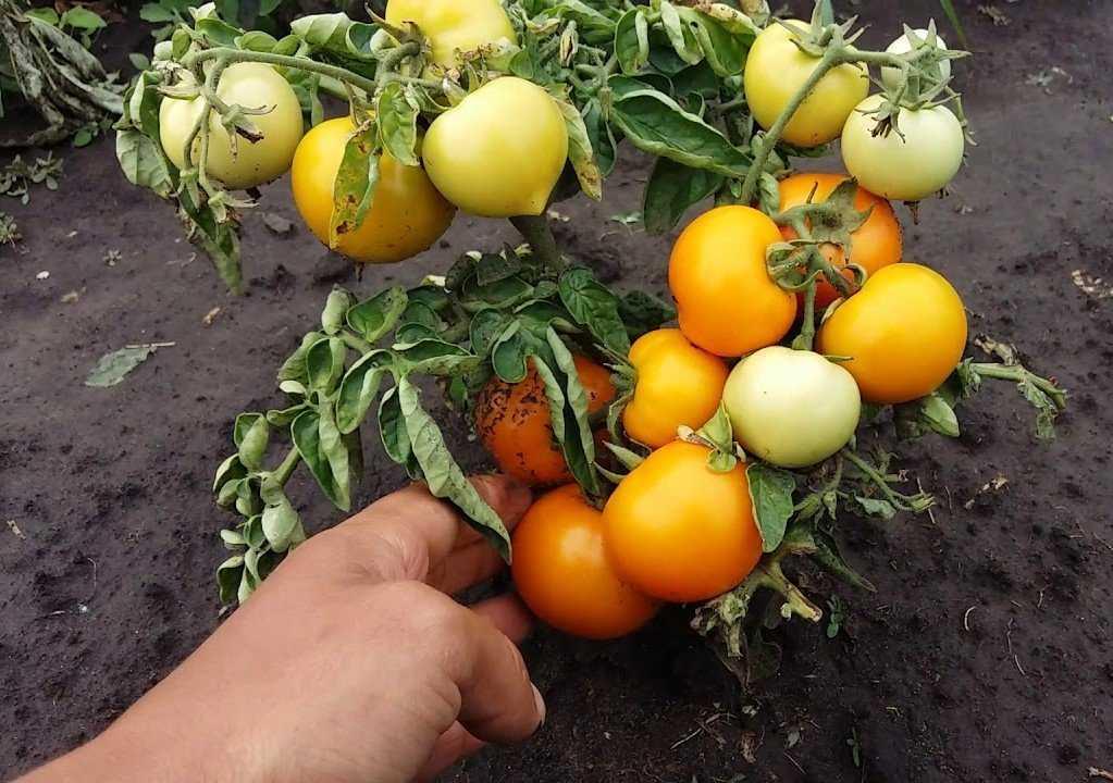 tomatyi-bez-rassadyi-foto-video-kak-vyirashhivat-pomidoryi-bez-rassadyi-5