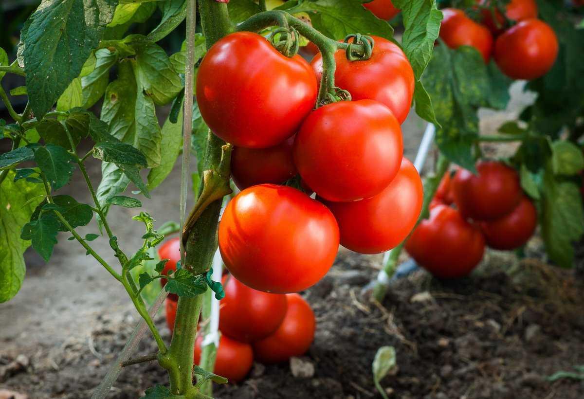 tomatyi-bez-rassadyi-foto-video-kak-vyirashhivat-pomidoryi-bez-rassadyi-1