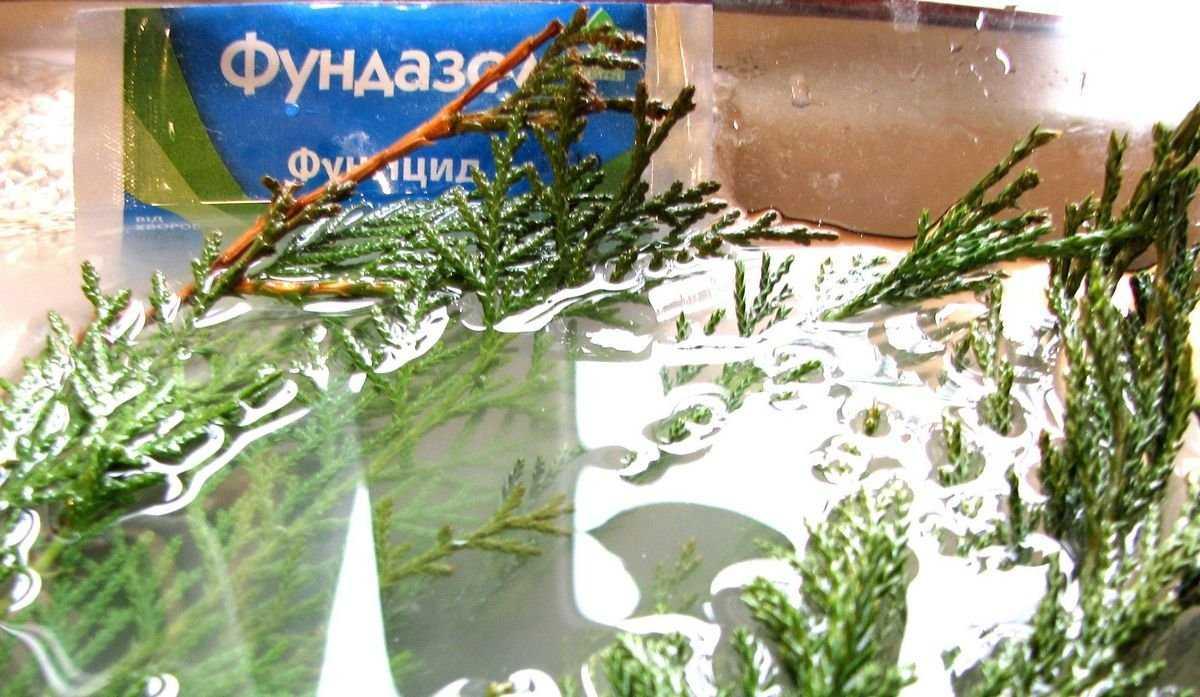 cherenkovanie-hvoynyih-zimoy-foto-video-razmnozhenie-hvoynyih-rasteniy-8