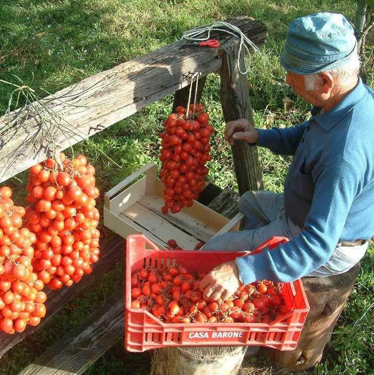 pomidory-cherri-foto-video-luchshie-sorta-opisanie-lichnyj-opyt-vyrashhivaniya-71