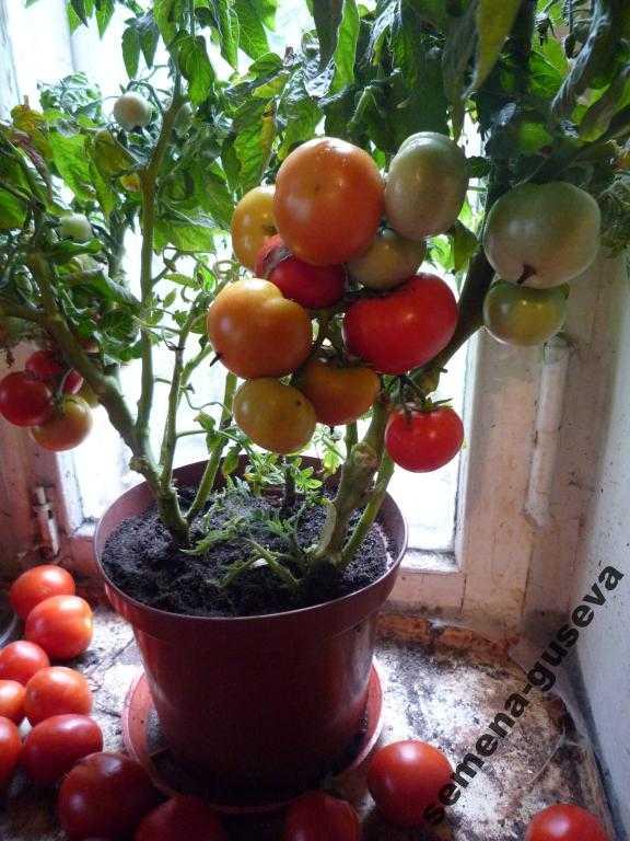 Balcon Star Tomato.