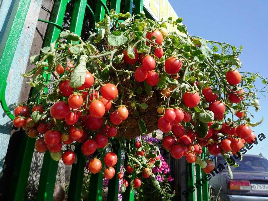 nizkoroslye-pomidory-foto-video-sorta-dlya-vyrashhivaniya-doma-i-v-teplitse-9